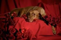 Vizsla Valentine
